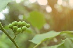 Solanum μελιτζάνας μπιζελιών torvum Sw στο δέντρο Στοκ Εικόνα
