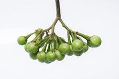Solanum μούρων της Τουρκίας torvum Sw Στην άσπρη ανασκόπηση εκλεκτικός Στοκ Εικόνες