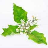 Solanum λουλούδια Torvum Sw Στοκ Εικόνες