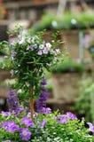 Solanum στο κατάστημα κήπων στοκ εικόνες με δικαίωμα ελεύθερης χρήσης