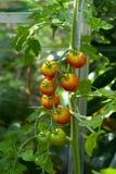 solanum φυτών lycopersicum ντομάτα Στοκ φωτογραφία με δικαίωμα ελεύθερης χρήσης