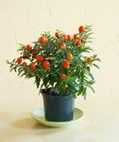 Solanum. Plant solanum with orange fruits royalty free stock photos