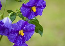 Solanum Royalty Free Stock Photography