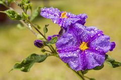 Solanum Stock Images