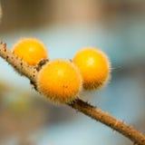 Solanum, Bolo Maka Stock Photo