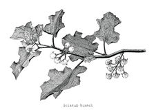 Solanum branch clip art hand drawing engraving illustration. Isolated on white background Stock Images