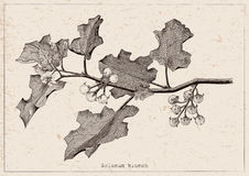 Solanum branch clipart hand drawing engraving illustration on vi. Ntage background Royalty Free Stock Photo