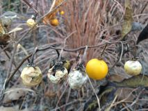 Solanum Carolinense Plant with Fruit in the Fall. Solanum Carolinense Plant with Fruit in the Fall in Lincoln Park in Jersey City, NJ stock photo