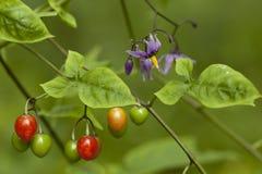 Solanum dulcamara. Berry fruits and flowers (Solanum dulcamara) on stem royalty free stock photography