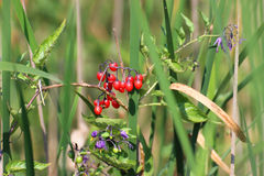 Solanum dulcamara Fotografia Stock