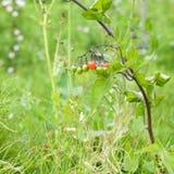 Solanum dulcamara. ( bittersweet, bitter nightshade stock photo