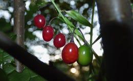 Solanum dulcamara in the UK on a walk in the countryside. Solanum dulcamara found in the UK on a walk in the countryside stock photos
