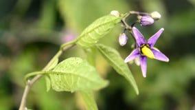 Solanum dulcamara, medicinal plant stock video footage