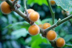 Solanum ferox Στοκ Εικόνες