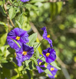 Solanum Stock Photography