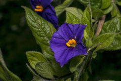 Solanum flower on a garden Royalty Free Stock Photography