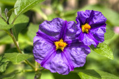 Solanum flowers hdr Stock Images
