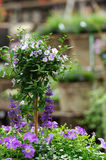 Solanum in garden shop. Beautifully displayed Solanum on stem, combined with petunia's and salvia's in a gardening shopping center royalty free stock images