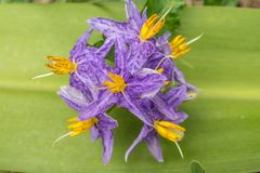 Solanum incanum is a small vine outdoor plants. Solanum incanum is a small vine. Species propagated by seeds. Outdoor plants that require water and moisture in stock image