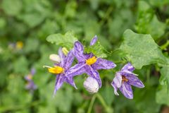 Solanum incanum is a small vine outdoor plants. Solanum incanum is a small vine. Species propagated by seeds. Outdoor plants that require water and moisture in Royalty Free Stock Photography
