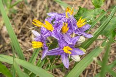 Solanum incanum is a small vine outdoor plants. Solanum incanum is a small vine. Species propagated by seeds. Outdoor plants that require water and moisture in stock photos