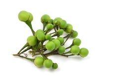 Solanum  indicum. Thai food ingradient Stock Photos