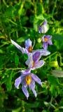 Solanum indicum Zdjęcia Stock