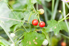 Solanum indicum Herb Trees and fruits. Vegetables and Thai herbs & x28;Solanum trilobatum Linn.& x29 Stock Photo