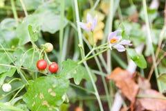 Solanum indicum Herb Trees and fruits. Vegetables and Thai herbs & x28;Solanum trilobatum Linn.& x29 Royalty Free Stock Photo