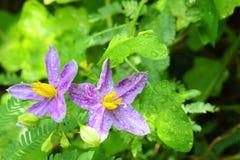 Solanum indicum kwiat zakończenie L. kwiat, zdjęcia royalty free