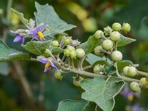 Solanum indicum  L. Royalty Free Stock Photo