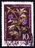 Solanum laciniatum AIT di Apple di canguro, circa 1972 Immagini Stock