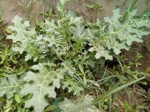 Solanum linnaeanum& x28;Afghan thistle, apple of Sodom, apple-of-Sodom, bitter apple, black-spined nightshade,. Distinguishing Features an upright or spreading royalty free stock photos