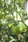 Solanum lycopersicum Stock Photos