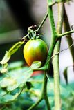 Tomato, the one of vegetable most in Indonesia royalty free stock images