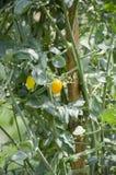 Solanum lycopersicum tree. In nature garden Royalty Free Stock Photo
