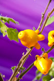 Solanum mammosum Royalty Free Stock Photography