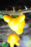 Solanum mammosum Royalty Free Stock Images