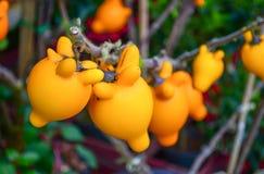Solanum mammosum Stock Image
