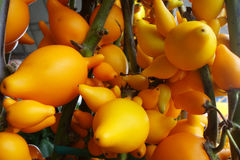Solanum mammosum growing in the garden Stock Photography