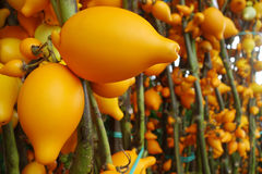 Solanum mammosum on the market. For sell Royalty Free Stock Photos