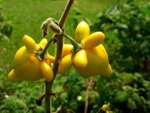 Solanum mammosum plant Royalty Free Stock Photography