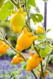 Solanum mammosum plant Stock Photo