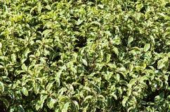 Solanum nigrum Stock Image