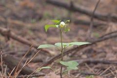 Solanum Nigrum bräcklig blomma med gula ståndarknappar och den vita petaen royaltyfri foto