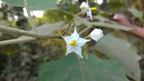 Solanum oberżyna lub torvum fotografia royalty free