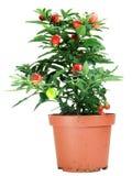 Solanum Potted Capsicastrum Foto de Stock Royalty Free