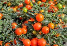 Solanum pseudocapsicum berries Royalty Free Stock Photos
