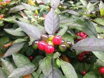 Solanum Pseudocapsicum roślina z owoc w spadku w central park, Manhattan Zdjęcie Stock