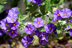 Solanum rantonnetii (Species: Lycianthes rantonnetii),  flowerin Royalty Free Stock Images
